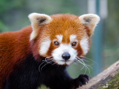 Summer Activity and Feeding pattern of Captive Red panda (Ailurus fulgens fulgens) at Padmaja Naidu
