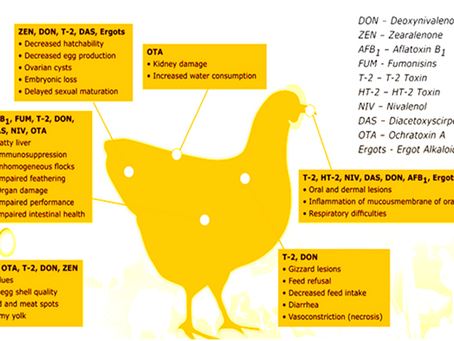 Prevention, Control and Managemental Strategies for Major Mycotoxins Intoxications in Poultry