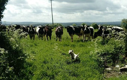 For such a small dog, Rasher the Westie is enormously confident.jpgTaking on a herd of cattle today