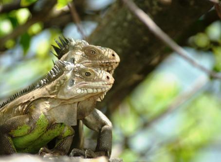 Réunion d'information sur l'iguane péyi