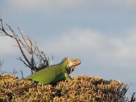 [CONNAISSANCES] # 971                Capture Marquage Recapture       Iguane des petites Antilles