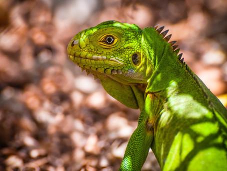 [Conservation] #972         Conservation des iguanes péyi de l'îlet Chancel
