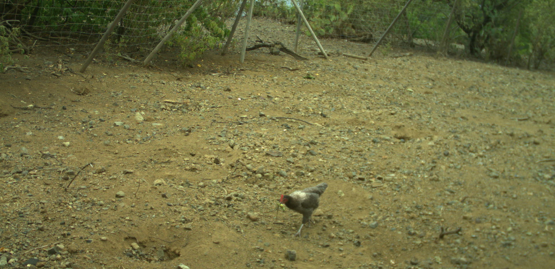 Prédation d'une poule sur un juvénile