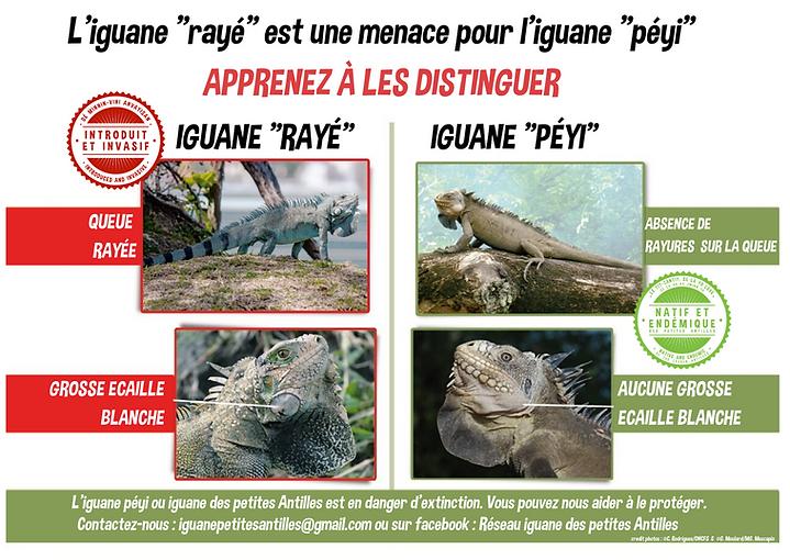 Affiche iguanes.png