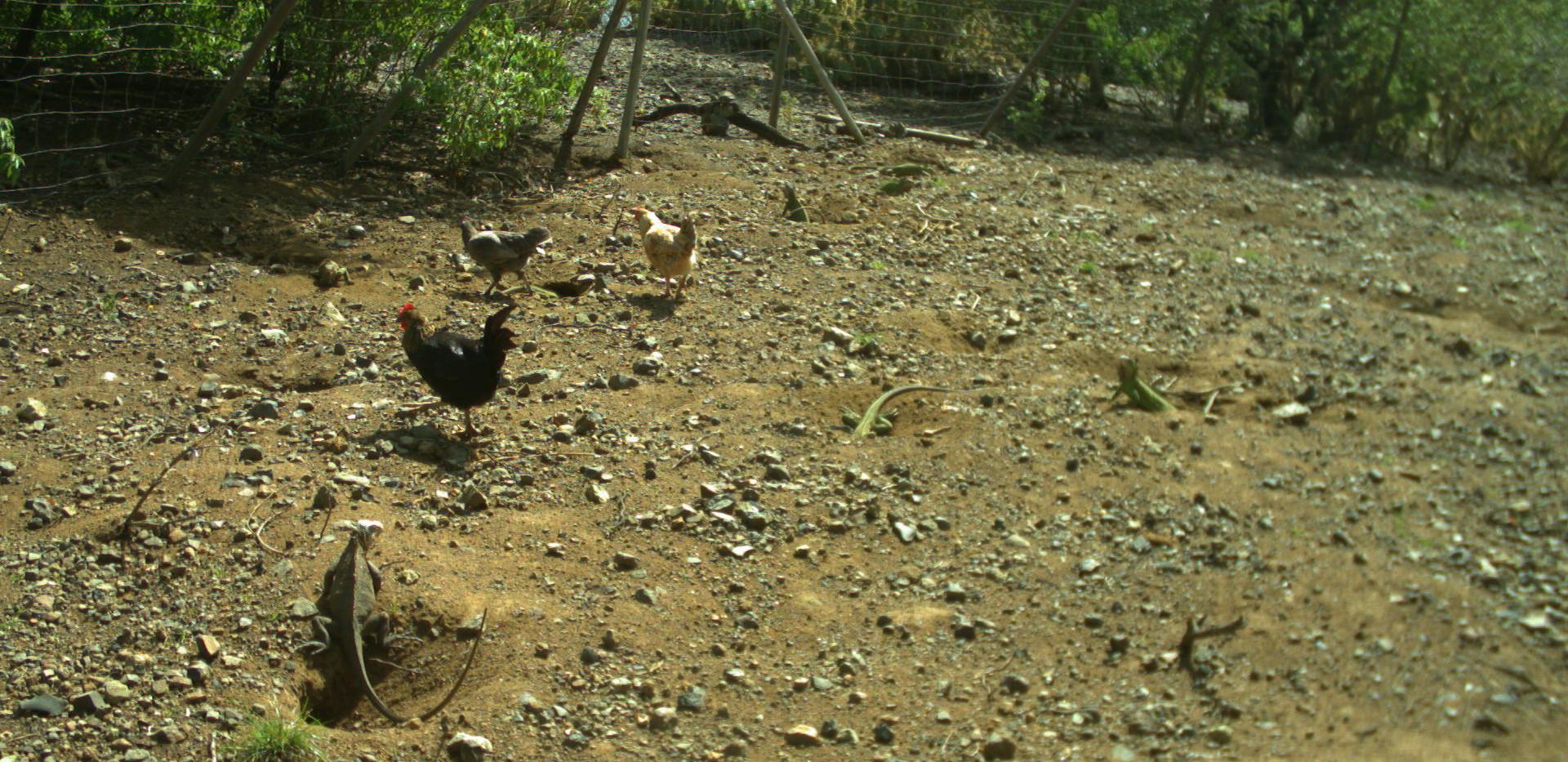 Poules autour des femelles iguane péyi