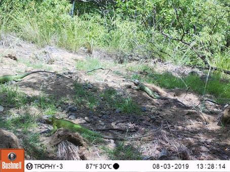Conservation des iguanes péyi de l'îlet Chancel