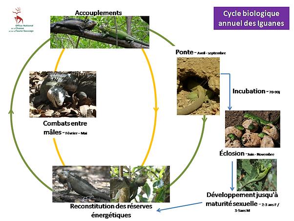 Cycle biologique des iguanes des petites Antilles