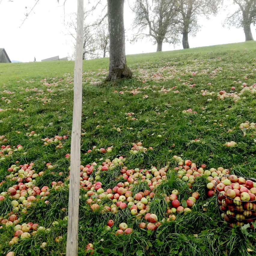 Äpfel herunterstangeln