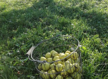 Die Reise vom Apfelbaum in das Mostfass🍏