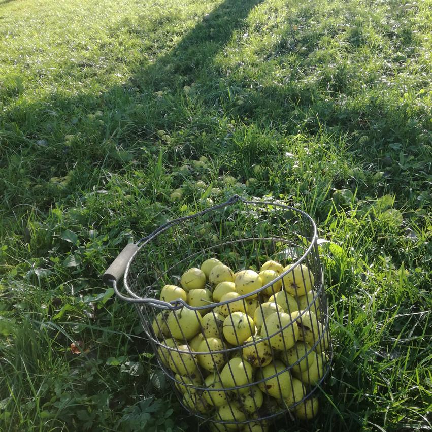 Äpfel im Drahtzistel
