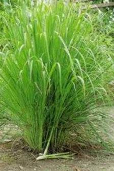 Citronnelle - Lemon Grass