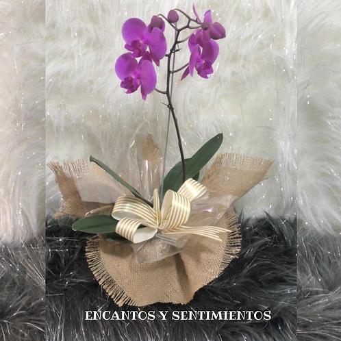 Mata orquídea phalenosis