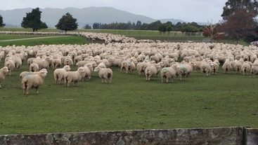 Differences in lambing performance between ewes and hoggets