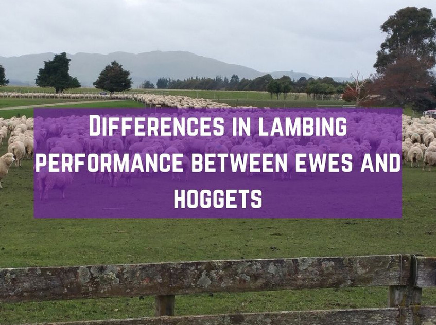 hogget lambing performance