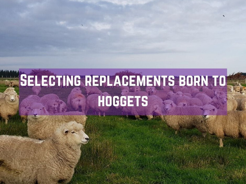 Selecting replacement hoggets