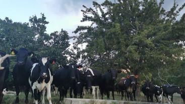 Do heavier heifers survive longer in the herd?
