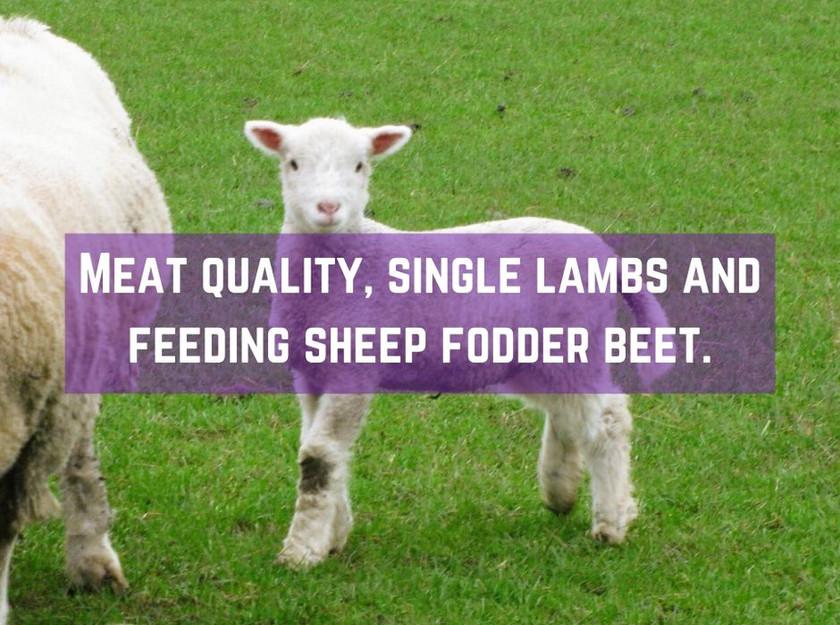 Lamb meat quality