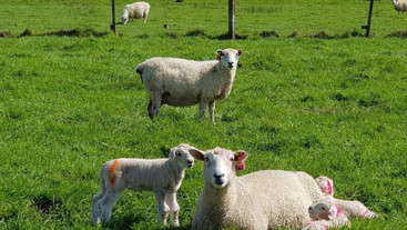 How birth weight affects lamb survival