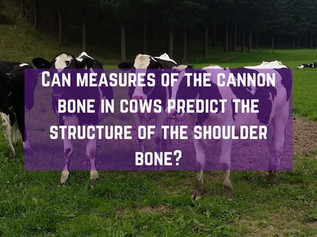 Can measures of the cannon bone in cows predict the structure of the shoulder bone?