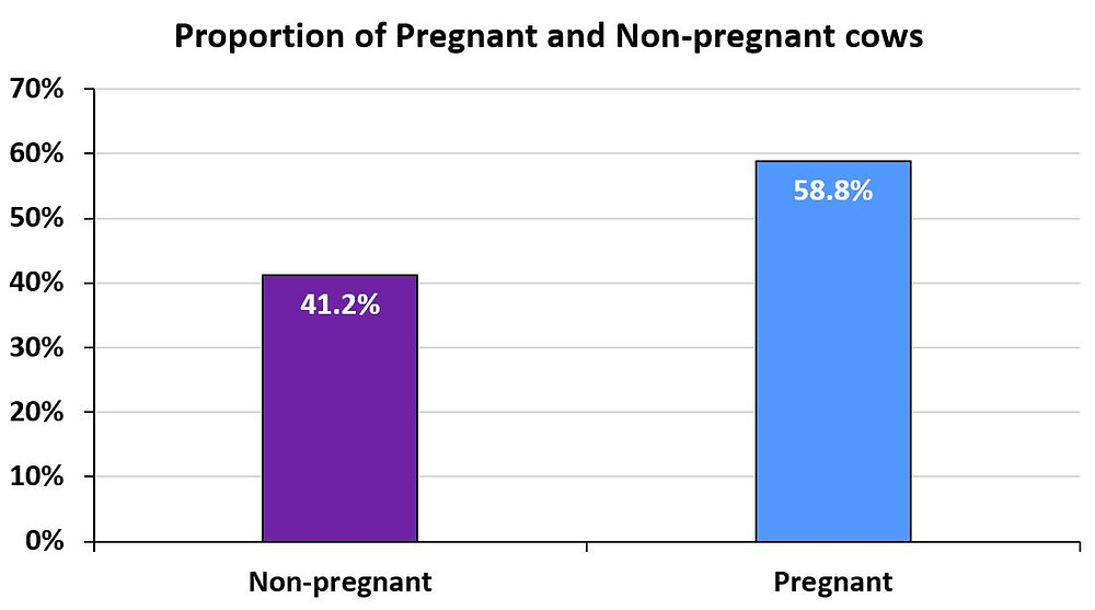 Figure 1. Proportion of pregnant and non-pregnant cows at the first ultrasound check