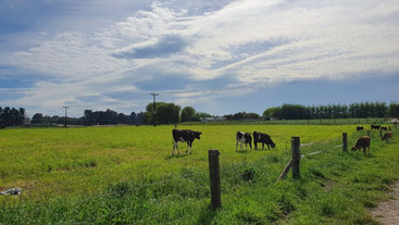 Do heavier heifers produce more milk?