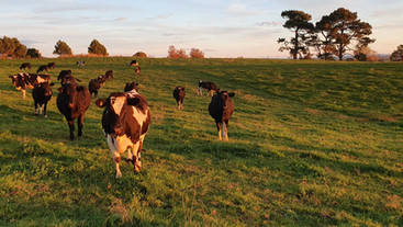 Heifers with high fertility BVs reach puberty earlier than low fertility BV heifers