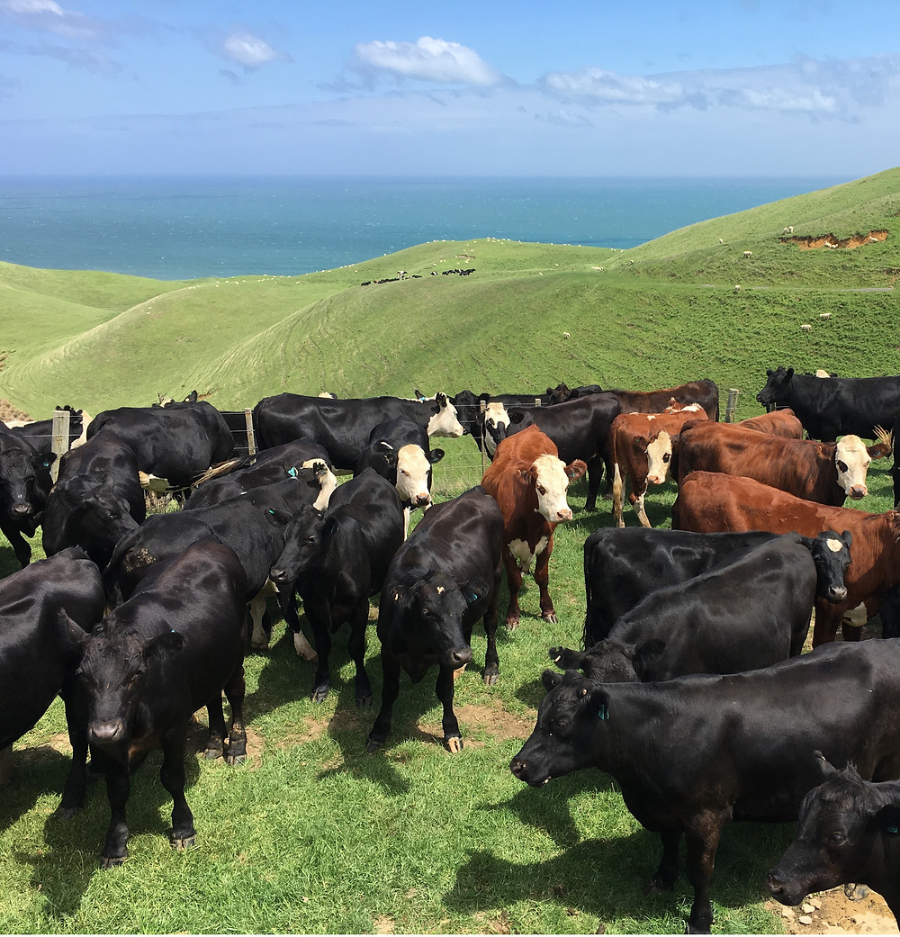 Dairy-beef cattle on the hills