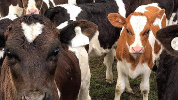 Can a colostrum replacer work as well as cow colostrum?