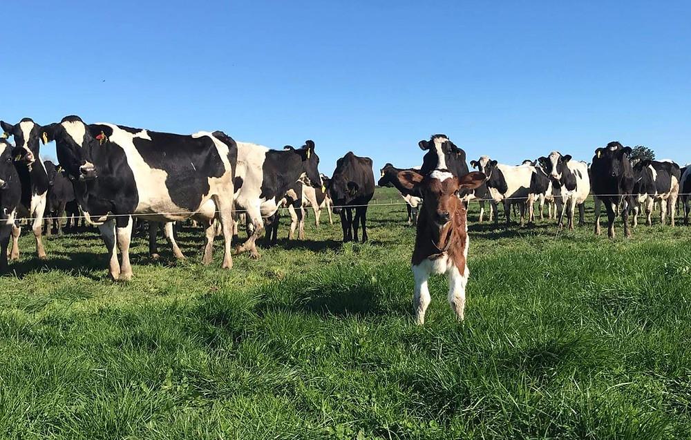 Dairy cows looking at escaped calf