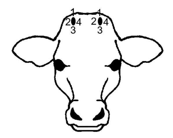 Diagram showing the position of measurement for pain sensitivity of calves