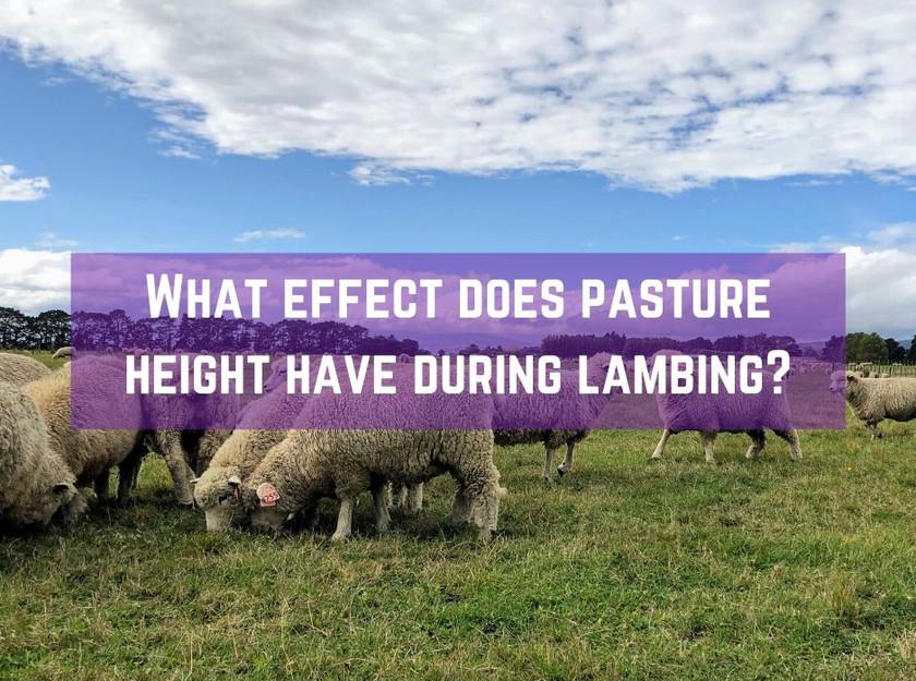 Pasture height during lambing