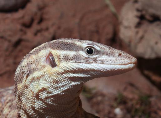 Varanus Acanthurus (The Spiny Tailed Monitor)