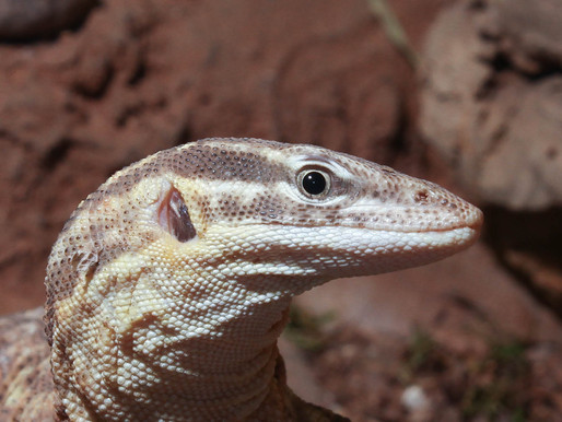 Varanus Acanthurus (The Spiny Tailed Monitor)