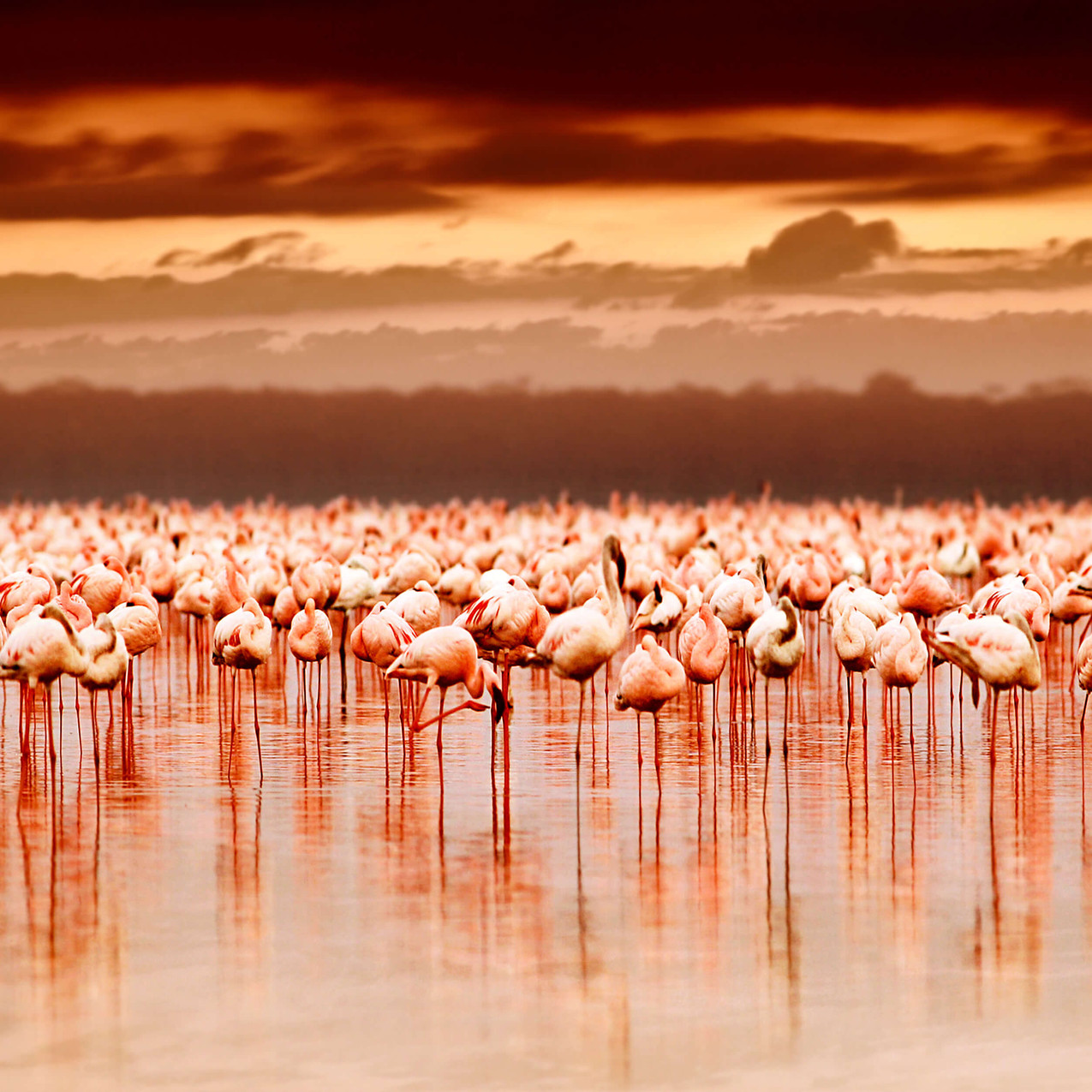 Flamingoes the cliff nakuru