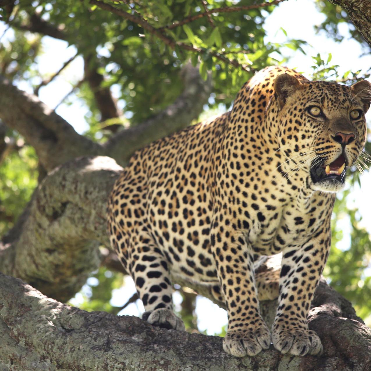 Spirit of the Masai Mara - Leopard