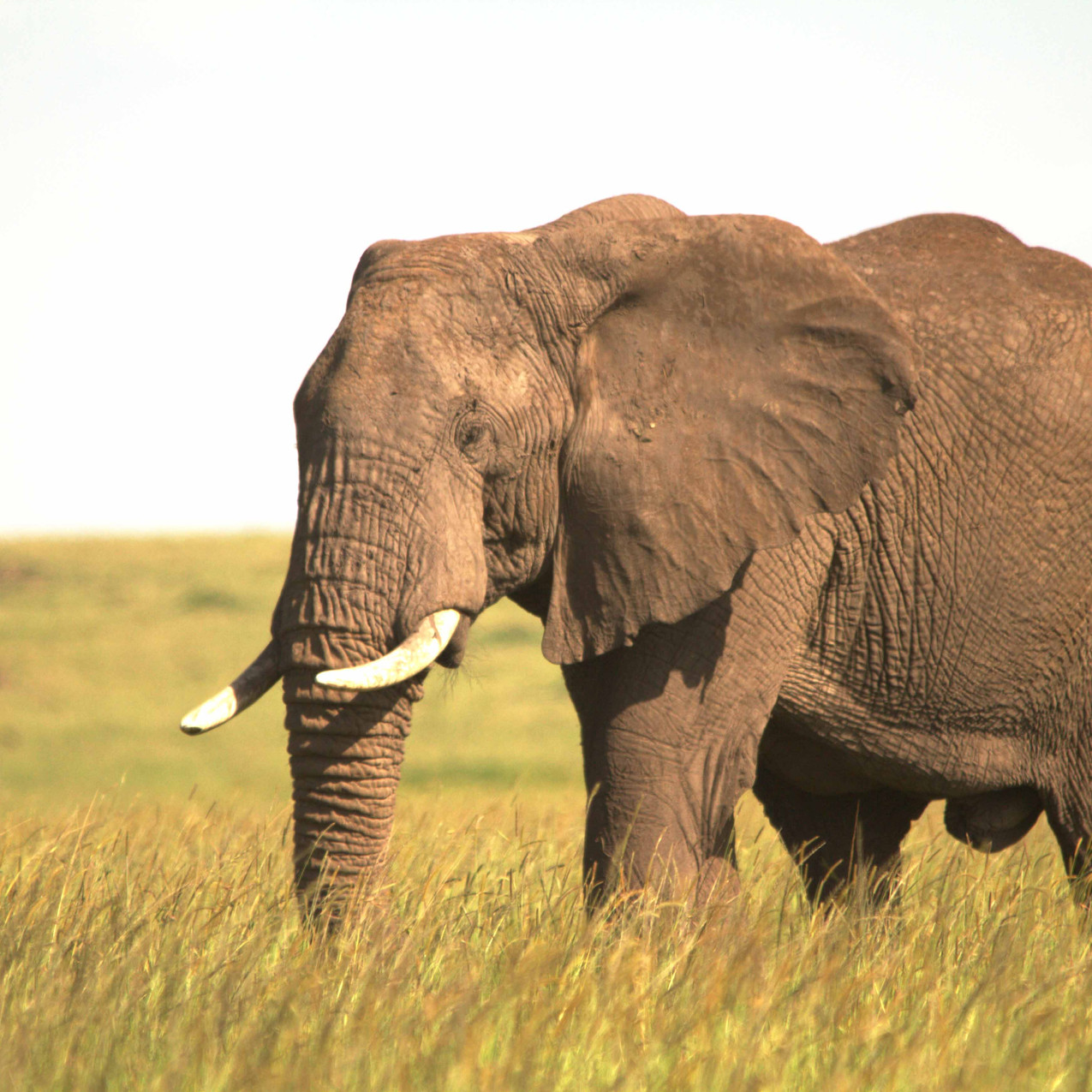 Spirit of the Masai Mara - Elephant 1
