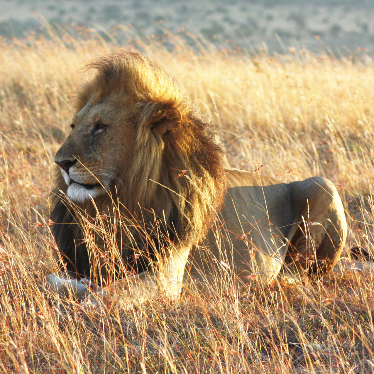 Spirit of the Masai Mara - Lion