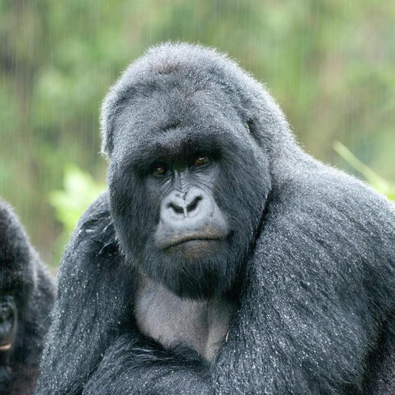 9-Gorilla-(1)