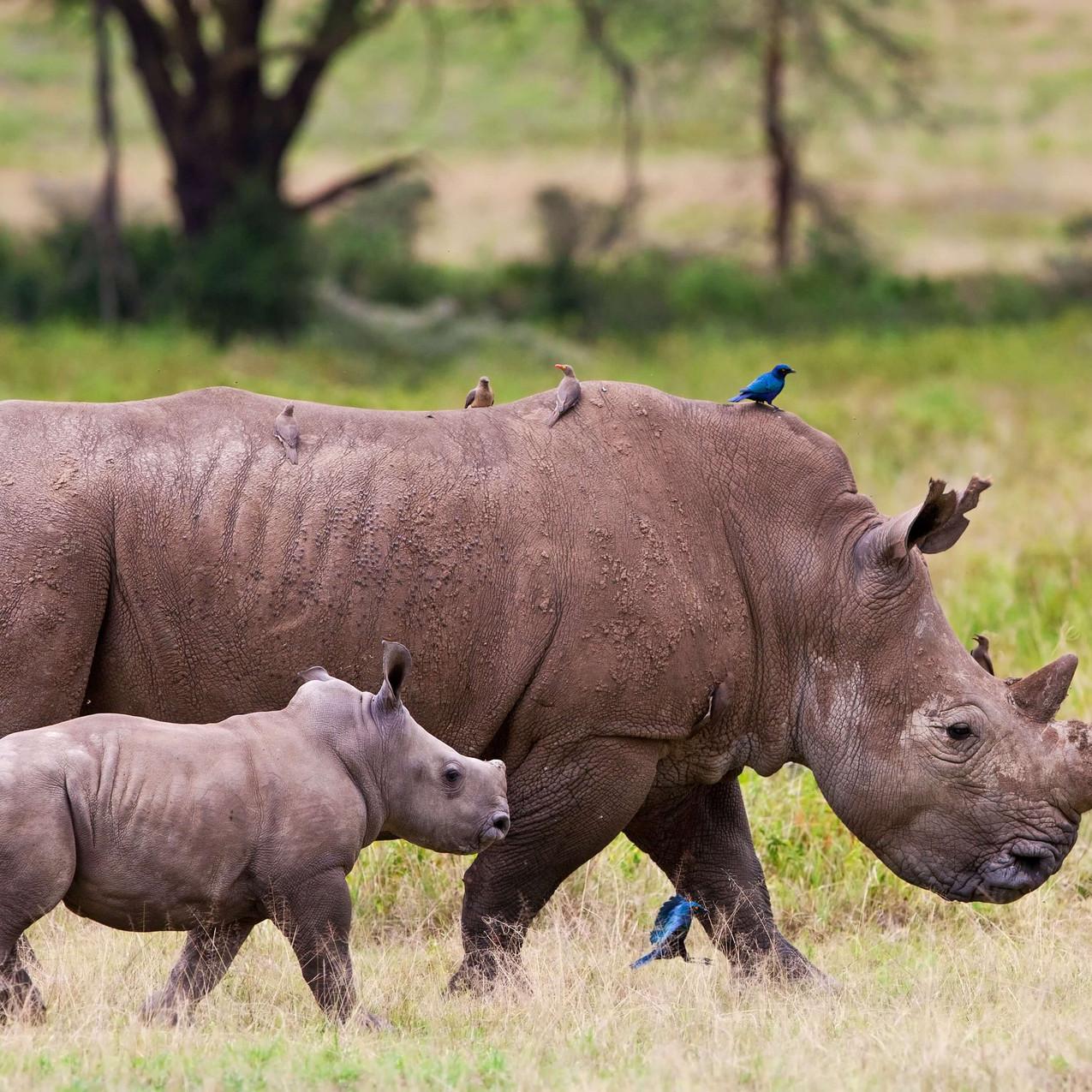 Rhinos the Cliff Nakuru