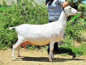 Brilliance 4 year old milker.jpg