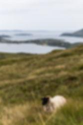 07. Irish sheep.jpg