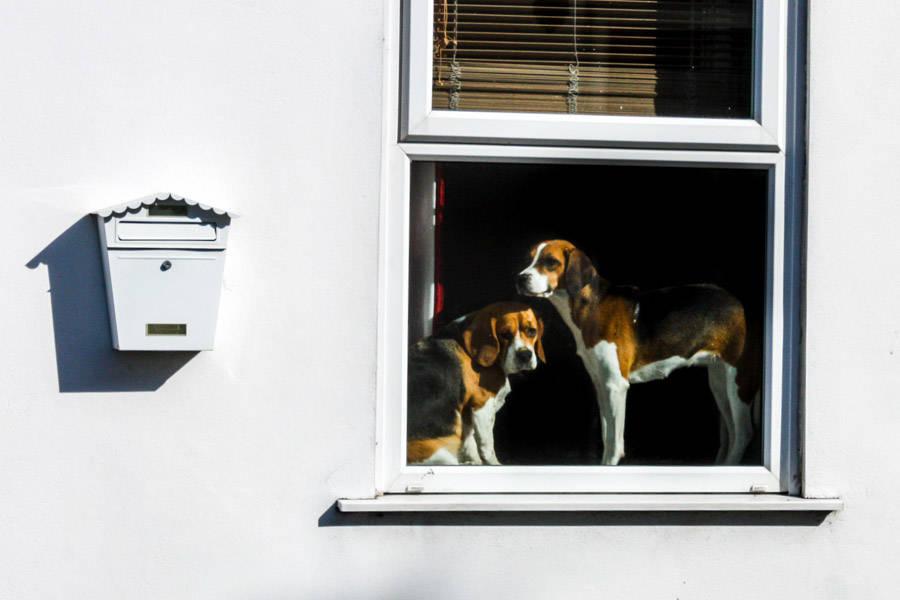 deux beaux chiens, à l'allure très anglaise, montent la garde. Liskeard.