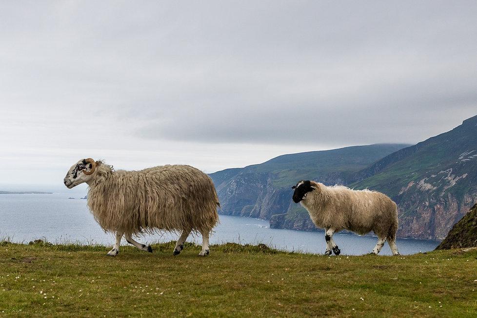 04. Les moutons des falaises.jpg