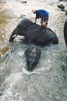 Baignade des éléphants.