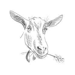 Dairy Goat | Sarah Wildfang