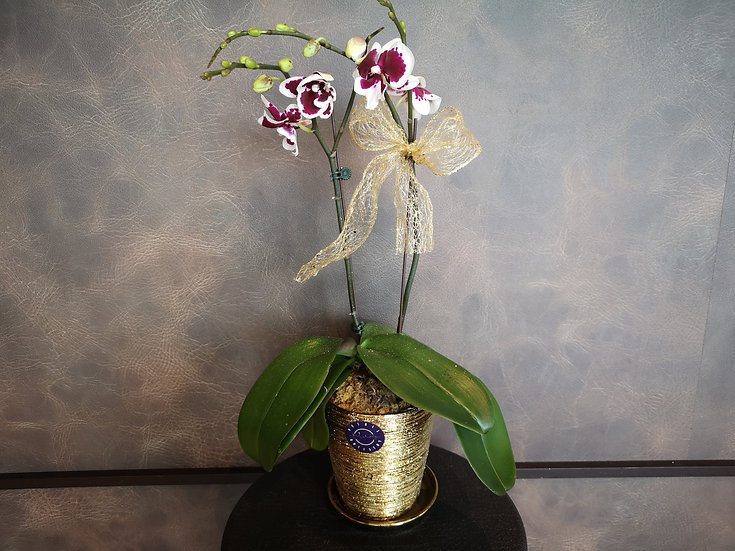 Phalaenopsis Gold Pot