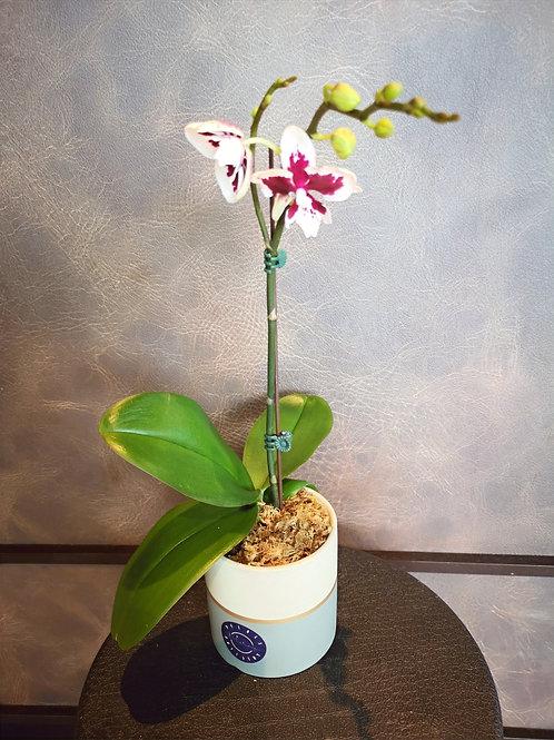 Phalaenopsis Potted Plant
