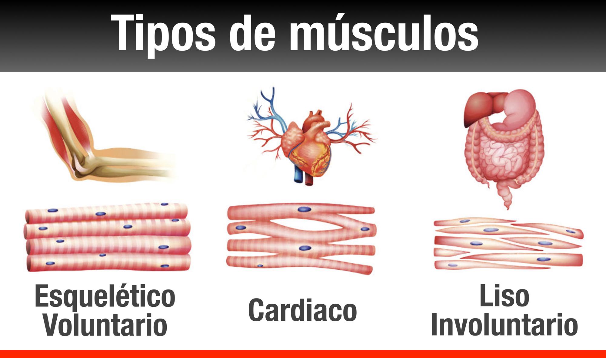 Lujo Tipos De Músculos Esqueléticos Bandera - Anatomía de Las ...