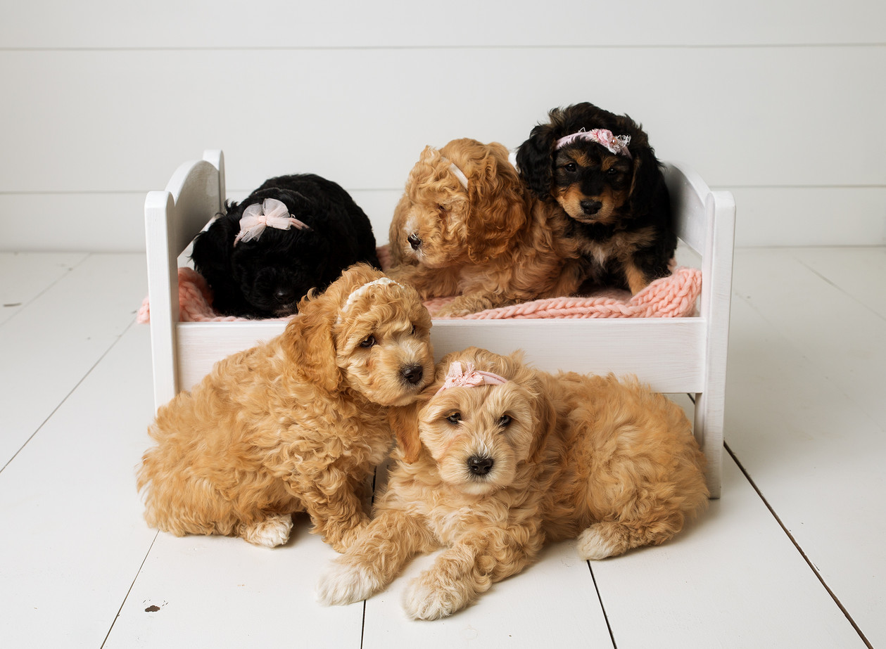 Golden Doodle Puppies | Newborn Puppy Session | Minneapolis-Cambridge, MN Newborn Photographer