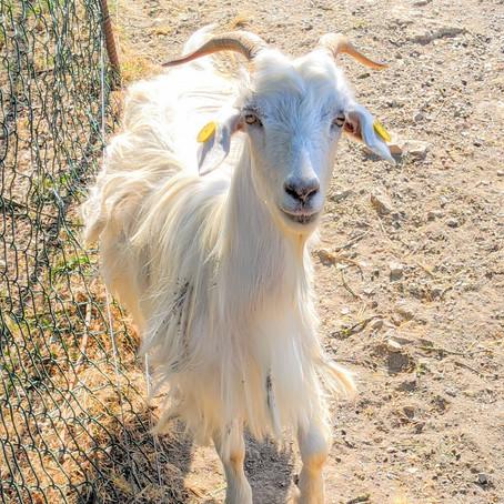 Panzano and Chianti Cashmere Goat Farm